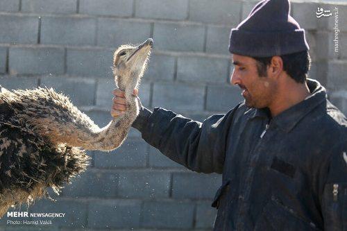 پرورش شتر مرغ توسط یک کارآفرین جوان