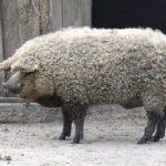 واردات گوشت خوک گوسفندی واقعیت دارد؟