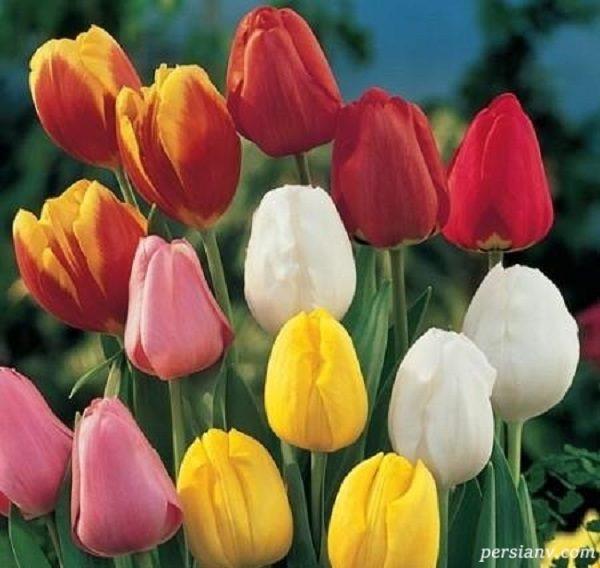 گلی برای روز مادر   آشنایی با مناسب ترین و بهترین گلی برای روز مادر