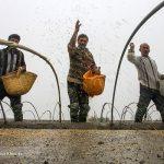 تصاویری دیدنی از جشن شالیزار در روستاهای مازندران