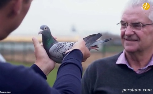 گران قیمت ترین کبوتر دنیا