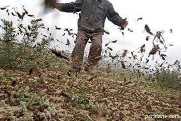 حمله ملخ های صحرایی