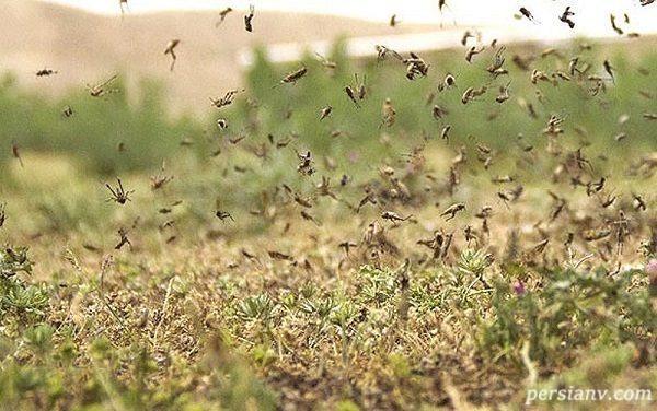 حمله ملخ های صحرایی به اصفهان