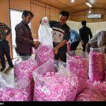 تصاویری زیبا و دیدنی از جشنواره گلاب گیری در کاشان