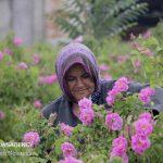 عطر گل محمدی در دل کویر در خراسان جنوبی! + تصاویر