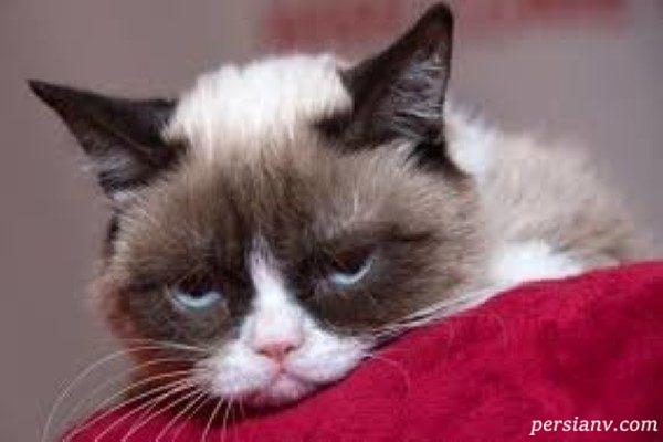 گربه معروف و مولتی میلیونر اینستاگرامی مرد!!