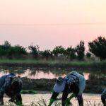زنان شالیکار گلستانی در قاب های مختلف تصویر
