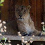 اولین تصاویر از ایلدا شیر آسیایی باغ وحش تهران