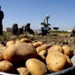 کاهش چشمگیر و شکسته شدن نرخ سیب زمینی در بازار