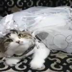 جشن عروسی گربه های اشرافی ، مد جدید مرفهین بیدرد!!