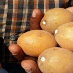 خواص میوه چیکو , میوه ای که سرطان را ریشهکن میکند!!