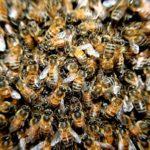 مجری معروف تلویزیونی با حمله زنبورها تا یک قدمی مرگ رفت!!!