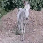 حیوان آزاری در مازندران   فیلمی تکان دهنده از آزار و اذیت یک الاغ!!