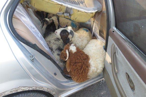 گوسفند قاچاق