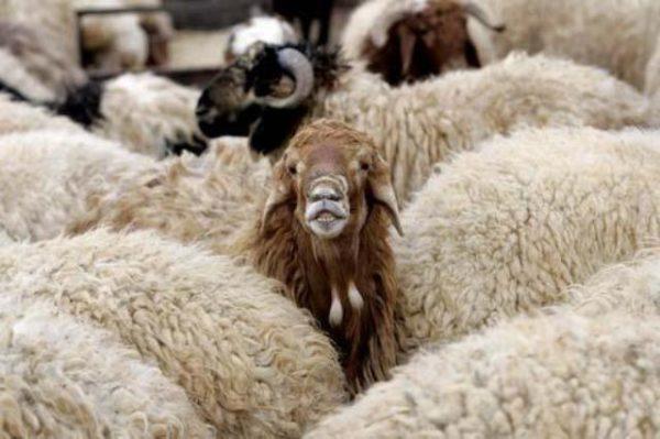 عکس های باورنکردنی از ۱۳ گوسفند قاچاق جاسازی شده داخل یک سمند!!