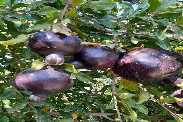 انار سیاه , میوهای که برای درمان ۵ بیماری خطرناک مفید است!