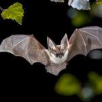 حمله خفاش ها در استرالیا مردم را وحشت زده کرد