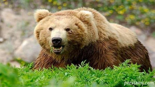 فیلم دلخراش و بی رحمانه کشتن خرس در ارومیه