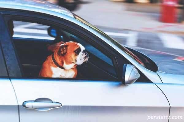 حمل سگ در خودرو