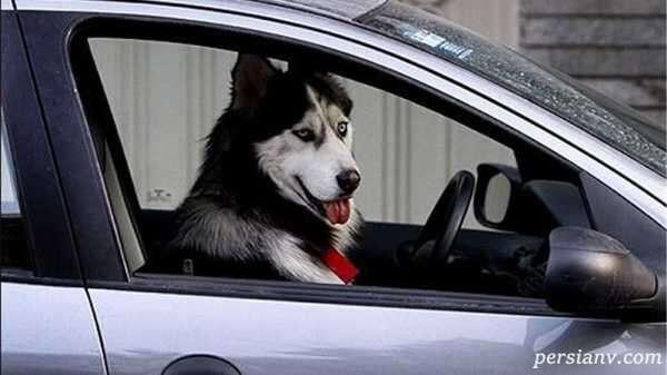 حمل سگ در خودرو دولتی دردسرساز شد