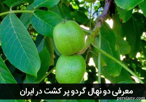 معرفی دو نهال گردو پر کشت در ایران