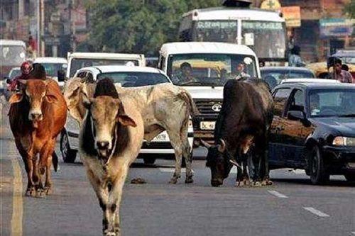 کشته شدن پلیس و یک فرد عادی به دلیل مرگ یک گاو