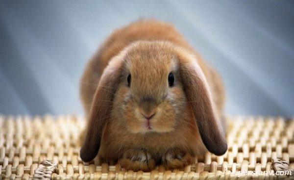 فال متولدین سال خرگوش