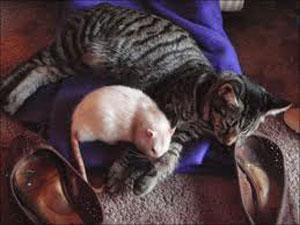گربه تنبل را موش طبابت می کند