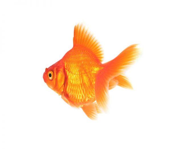 داستان ضرب المثل ماهی از سرگنده گردد نی زدم