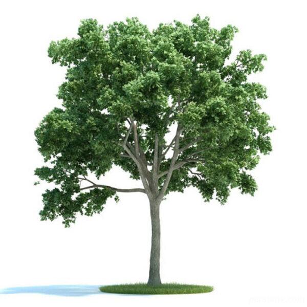 طالع بینی درخت روز تولد