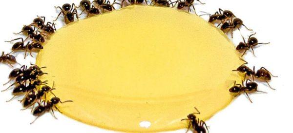 عسل مورچه زده