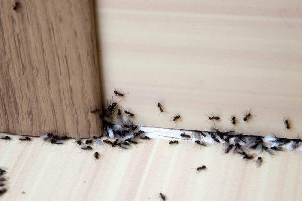 مورچه در آشپزخانه