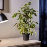 در خصوص نحوه نگهداری از گیاه بنجامین