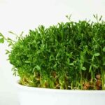 زمان و نحوه کاشت و نگهداری سبزه عدس برای سفره هفت سین