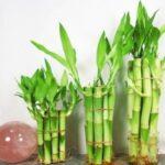 چگونه از گیاه بامبوی خوش یمن نگه داری کنیم؟