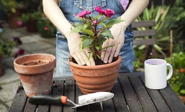 بهترین زمان تعویض گلدانها