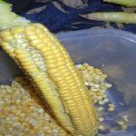 طریقه دانه کردن ذرت