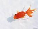 راهنمای خرید و نگهداری «ماهی قرمز» عید