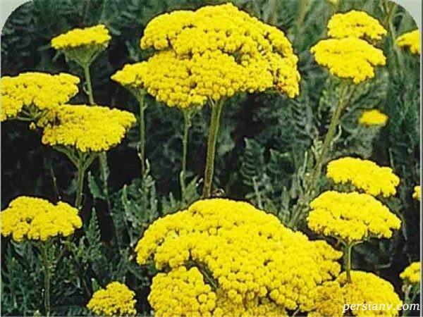 خواص بومادران (برنجاسف، قیصوم) یا Achillea millefolium