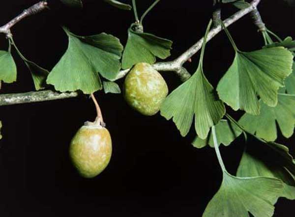 گیاه دارویی جینگو بیلوبا (Ginkgo Biloba)