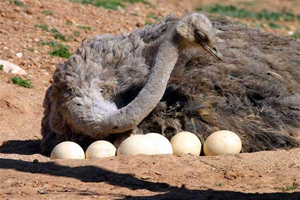 تخم شترمرغ؛ املتی برای ۱۰ نفر