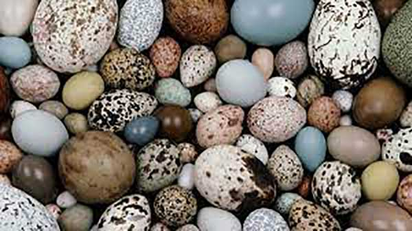 خواص تخم انواع پرندگان