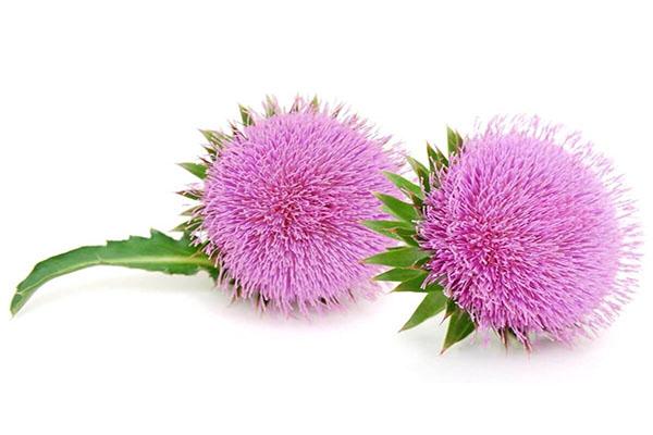 کبدی سالم با مصرف گیاه دارویی
