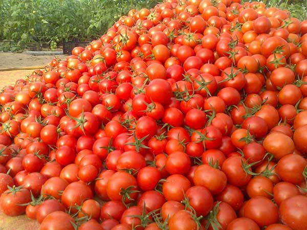 خواص مصرف گوجه فرنگی