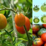 با گوجه فرنگی این بیماری را درمان کنید