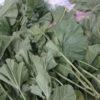 """سبزی توله یا پنیرک و درمان هزاران درد / طرز تهیه یک غدای محلی """"توله"""" یا پنیرک"""