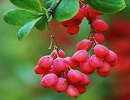 خواص درمانی گیاه زرشک