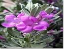 مریم گلی،گیاهی برای تقویت حافظهی شما