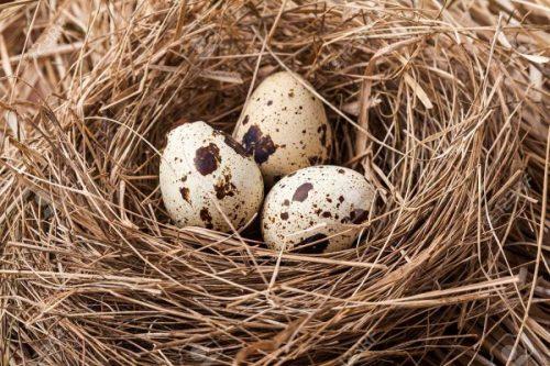 تخم بلدرچین برای کودکان