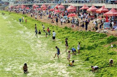 عکس:ساحل جلبکی در چین